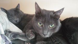 2 blue elder care cats